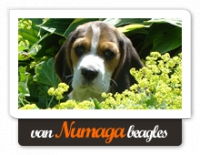 van Numaga Beagles